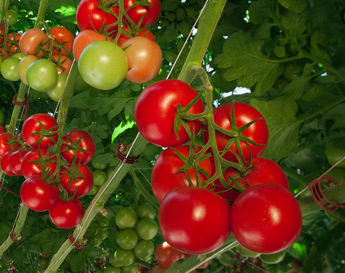 Beerstecher Gemüseanbau